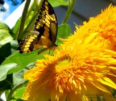 The Double Sunflower (Oft called 'Teddy Bear') is a Swallowtail favorite.