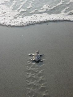 I love sea turtles...they've been one of my favorite animals since I watched a hatching on the coast of the Indian Ocean in Tanzania, Africa. So beautiful.