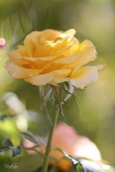 Resultado de imagem para love you so much rose