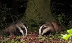 POLL: Should the badger cull in the UK be extended?