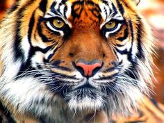 1335144214_indian-tiger-closeup.jpg (1024×768)