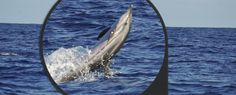 Striped dolphin - Lobosonda's Blog | Madeira whale watching www.madeirawhalewatching.com