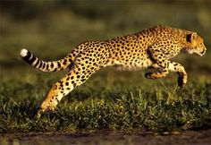 #feline #wild #africa #tiempocompartido #leopard #pard #nature http://www.cancelartiemposcompartidos.com/blog/133-como-vender-mi-tiempo-compartido/