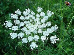 (3)Flower arrangers love Queen Annes Lace. The filigree blooms light up mixed bouquets, are perfect for weddings, look gorgeous alone in a vase and they