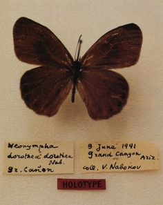 Vladimir Nabokovs first important American catch, taken on June 9, 1941, from the South Rim of the Grand Canyon. He named it Neo-nympha dorothea for Dorothea Leuthold, a friend who drove the Nabokovs west on the trip,