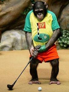 Monkey Golfer, we all have days where we feel like a monkey golfing!
