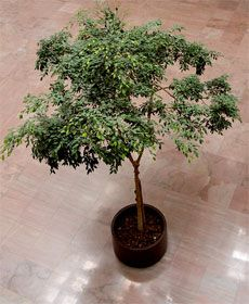 How to Care for Ficus. The ficus benjamina, also known as a weeping fig, is a popular indoor tree due to how easy it is to grow, and it's relatively low maintenance. House Plants Decor, Plant Decor, Ficus Tree Care, Grandmas Garden, Plant Needs, Growing Tree, Outdoor Plants, Fruit Trees, Plant Care