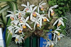 Specimen Plant, of the Orchid Pleione maculata, in Bloom