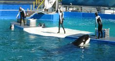 A Pacific White Sided Dolphin (L) and Lolita the Killer Whale (R) are seen during a show at the Miami Seaquarium in Miami, United States.