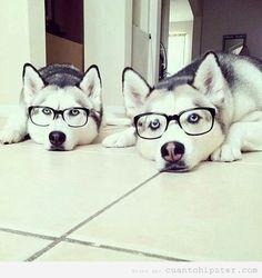 Dos perros husky con gafas de pasta hipsters