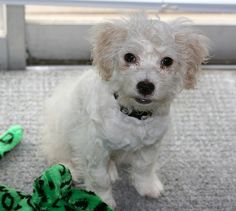 "He's a rat terrier - poodle mix. AKA a ""ratapoo"". ;) His fur is super-soft!"