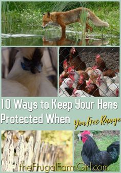 In this article, you will learn why we choose to free range our chickens and 10 Ways to keep your hens protected when you free range. via @frugalfarmgrl