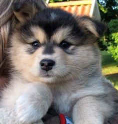 194 Best Finnish Lapphund Images Two Dogs Dog Breeds Dog Photos