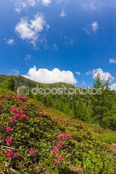 #Alpine #Rose On Mt. #Mirnock @depositphotos #depositphotos #@carinzia #ktr15 #flowers #almrausch #nature #landscape #carinthia #austria #summer #season #spring #outdoor #hiking #holidays #vacation #travel #leisure #sightseeing #stock #photo #portfolio #download #hires #royaltyfree
