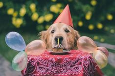 Happy Birthday to this Golden Retriever Puppy Birthday, Singing Happy Birthday, Birthday Hats, Happy Birthday Funny Dog, Birthday Sweets, Card Birthday, Birthday Ideas, Puppy Party, What Do You Mean