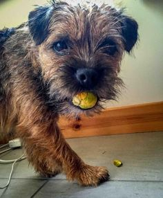 'Have you pinched one of the Brussels Sprouts from the Kitchen again Nipper?' - Naughty Border Terrier Dog theif caught in the act