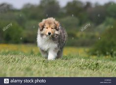 dog-rough-collie-scottish-collie-puppy-sable-white-walking-in-a-meadow-D1WEGH.jpg (1300×956)
