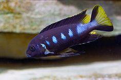 "Name:    Metriaclima sp. ""elongatus Chewere"""