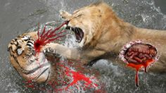 Lion Vs Tiger Animated Tigers Vs Lions Real Fighting To Death Animal Fac...