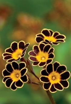 Primula auricula, a member of the Primulacea genus. Grows on rocks distributed…