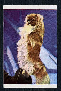 1940's A & S Kaffesurrogatfabriken of Denmark Pekingese trading card
