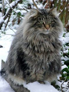 Norweign Forrest Cat