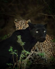 19 Stunning Photos Of A Rare Black Panther Roaming In The Jungles Of India | Bored Panda Jaguar, Black Panthers, I Love Cats, Big Cats, Beautiful Cats, Animals Beautiful, Jungle Animals, Cute Animals, Wild Animals