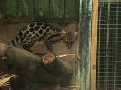 blotched genet - Google Search