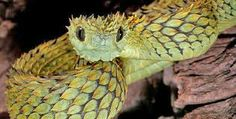 Atheris hispida is a venomous viper species endemic to Central Africa. It is known for its extremely keeled dorsal scales that give it an almost bristly appearance