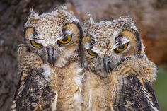 Great Horned Owls, Great Horned Owl Pictures, Great Horned Owl ...                                                                                                                                                                                 More