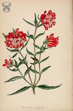 Bouvardia ternifolia {as Bouvardia angustifolia]. (Paxton's) Magazine of Botany and Register Vol. Flora Flowers, Botanical Flowers, Botanical Prints, Botanical Gardens, Floral Prints, Plant Illustration, Botanical Illustration, Verbena, Garden Of Earthly Delights