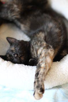 Beautiful tortie enjoying her beauty sleep