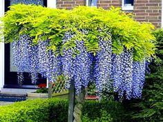 Small City Garden, Small Gardens, Garden Types, Vegetable Garden, Garden Plants, Wisteria Sinensis, Jardim Natural, Alpine Plants, Poisonous Plants