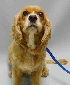 SAFE  8-5-2015 by Abandoned Angels Cocker Spaniel Rescue --- SUPER URGENT  Brooklyn Center PUGGLES – A1046092  FEMALE, BROWN / WHITE, COCKER SPAN MIX, 10 yrs STRAY – STRAY WAIT, HOLD FOR ID Reason STRAY Intake condition UNSPECIFIE Intake Date 07/31/2015 http://nycdogs.urgentpodr.org/puggles-a1046092/