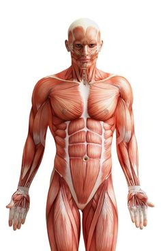 There are three types of muscle fibers found in skeletal muscle: slow-twitch, fast-twitch and intermediate fast-twitch. Slow twitch fibers are designed for activity that must be sustained over a long time like distance running. Fast-twitch fibers are designed for quick bursts of energy, but they fatigue quickly. Having more fast twitch-fibers can be an asset to a sprinter since she needs to quickly generate a lot of force.