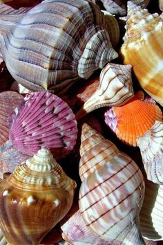 Beautiful beach ~ I'm guessing these shells are from the beaches of Sanibel Island. Shell Beach, Shell Art, Natural Forms, Ocean Life, Marine Life, Sea Creatures, Belle Photo, Under The Sea, Beautiful Beaches