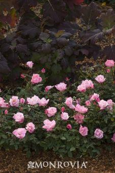 Rosa 'Radyod'