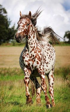 I wonder if leopard Appaloosa would do good in dressage?? Flashy enough??
