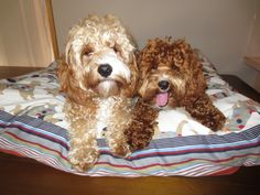 """Mello Bear & Benji Button enjoying the comfort of their deluxe """"doggy days"""" bed!  Head to doggythingz.com to purchase yours!"""