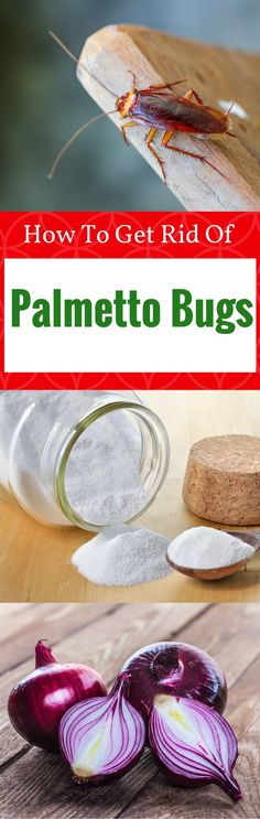 Your house has the appearance of palmetto bugs, but you don't have any pest control knowledge? This post will help you get rid of palmetto bugs naturally right now. Palmetto Bugs, Best Pest Control, Fruit Flies, Garden Pests, How To Get Rid, Gardening Tips, Knowledge, Cleaning, Outdoor Stuff