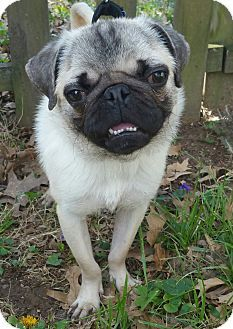 Pictures of Pudge a Pug for adoption in Bridgeton, MO who needs a loving home.