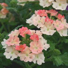 Verbena Superbena® 'Peach Blossom' (P)