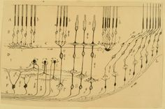 Retina. Santiago Ramón y Cajal (1901). Courtesy of Dr. Juan A. de Carlos. Drawing by Cajal summarizing his findings concerning the neuronal circuitry of the eye's retina. The small arrows symbolize the flow of information from the photoreceptor cells that detect light, to intermediary layers of neurons that locally process visual information before it is sent to higher areas in the brain.