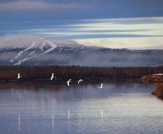 Kittilä, Finnish Lapland. Photo by @virpula instagram. Today I had a flight to home with @feelfinnair and I really couldn't believe my eyes... Swans I'm so lucky #feelfinnair #levilapland #worldcuplevi @worldcuplevi #visitfinland #visitlapland #swan #joutsen #arin...