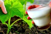 Glass Of Milk, Ethnic Recipes, House, Ideas, Plants, Tips, Lawn And Garden, Home, Thoughts