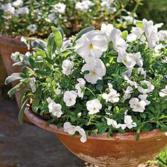 Winter Whites | 'Matrix White' pansies and 'Sorbet White' violas pair perfectly with the gray foliage of common sage.