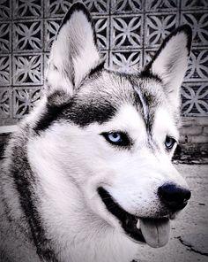 My husky - Loki :)