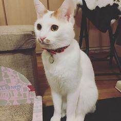 昨日のティーさん😳 ・ ・ またたび欲しくて、か細い声で「ウニャァン」って鳴いても貰えないの分かってふてくされてる顔😅 ・ ・ ・ ってさっきあげたでしょ〜😥 ・ ・ 1度でもあげると味を占めるってこのことですね😂  #猫#ねこ#愛猫#白茶#ちょびひげ#カギしっぽ#みんねこ#にゃんすたぐらむ#きゃっとすたぐらむ ・ #cat #catholic #catstagram