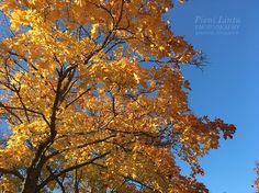 Maple leaves Autumn Photos, Maple Leaves, Clouds, Outdoor, Fall Cover Photos, Outdoors, Outdoor Games, Outdoor Life, Autumn Pictures