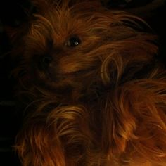 Snuffy, Yorkshire Terrier